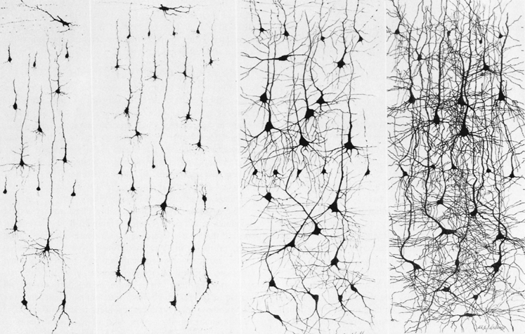 Neuroplasticity and Sensory Enrichment - Adults Neurons do keep growing