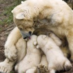 Mother bear licking her pups